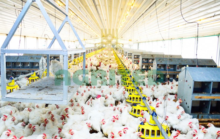 Everything You Need To Know About Raising Excellent Broiler Chickens in Nigeria